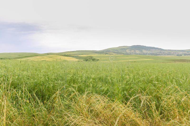 Green Wheat field with distant mountain views. Landscape photography stock photography