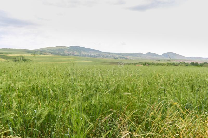Green Wheat field with distant mountain views. Landscape photography stock photo