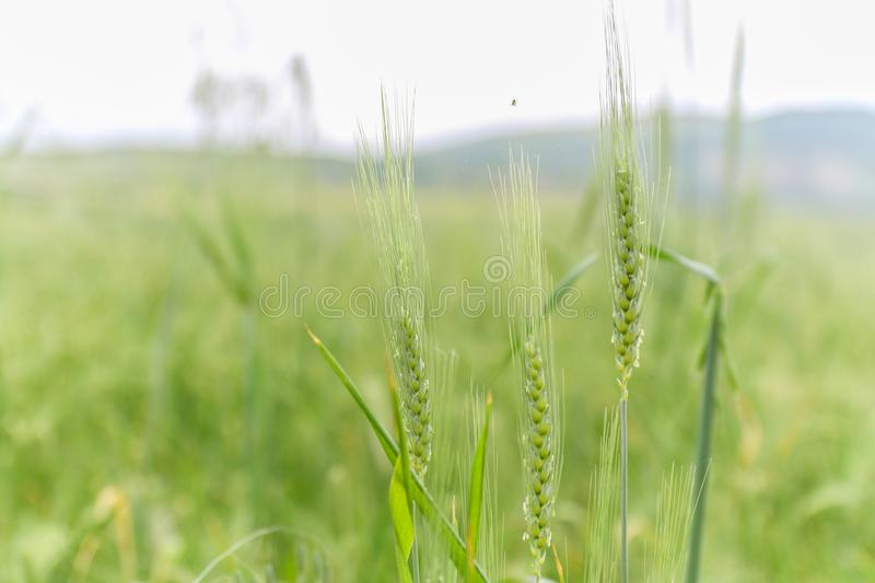 Green Wheat field with distant mountain views. Landscape photography royalty free stock images