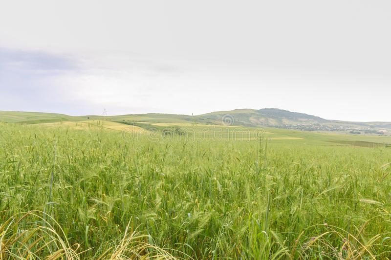 Green Wheat field with distant mountain views. Landscape photography royalty free stock photos