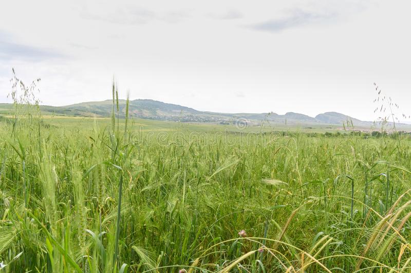 Green Wheat field with distant mountain views. Landscape photography stock photos