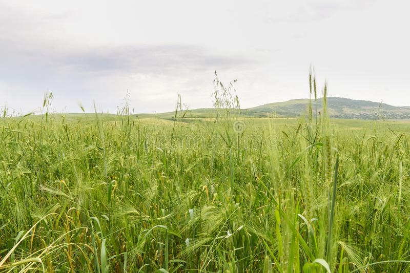 Green Wheat field with distant mountain views. Landscape photography stock image