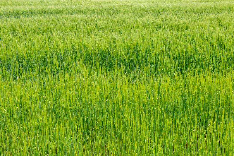 A Green Wheat Field royalty free stock images