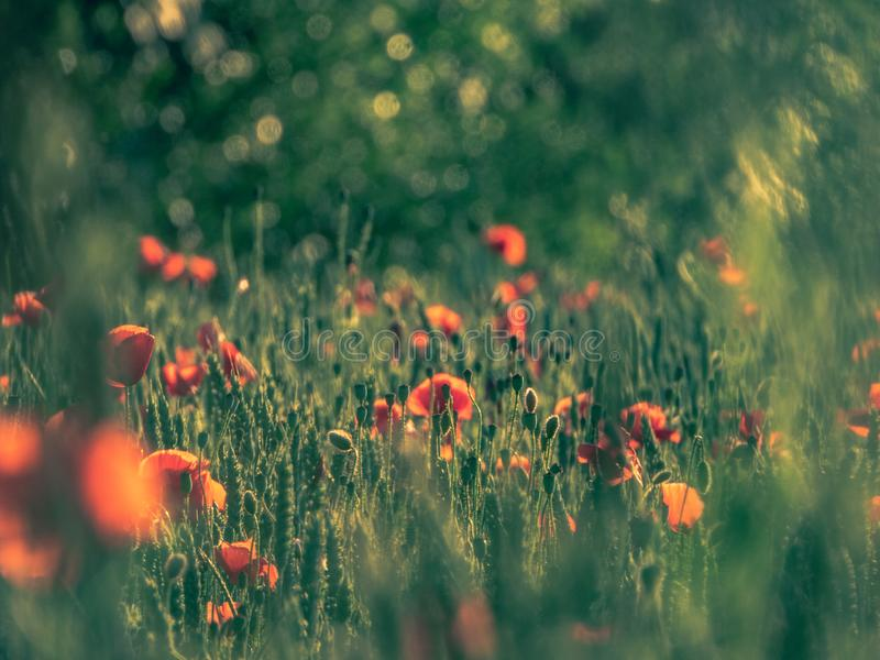 Poppies in a wheat field royalty free stock image