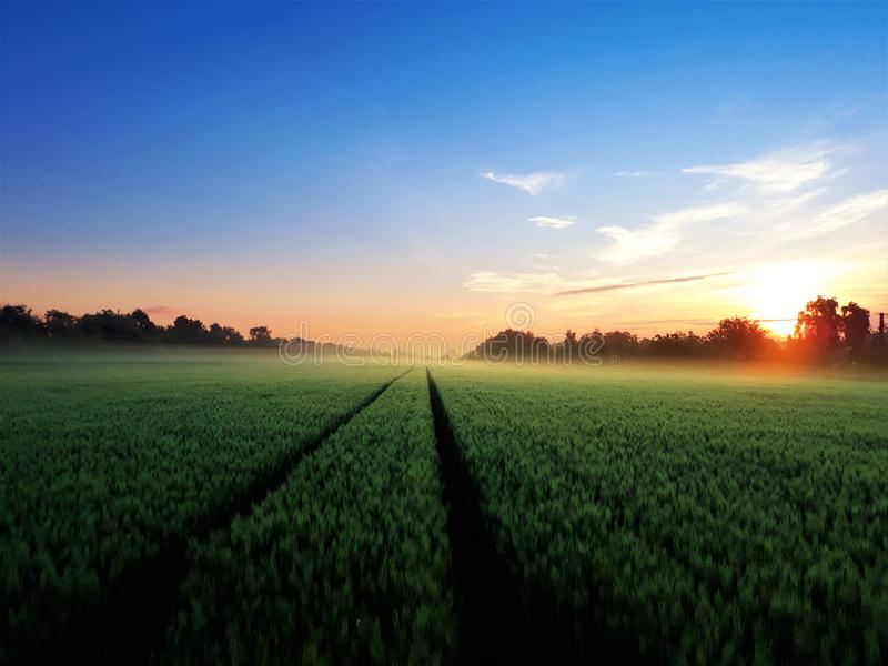 Green wheat field in the morning stock photo