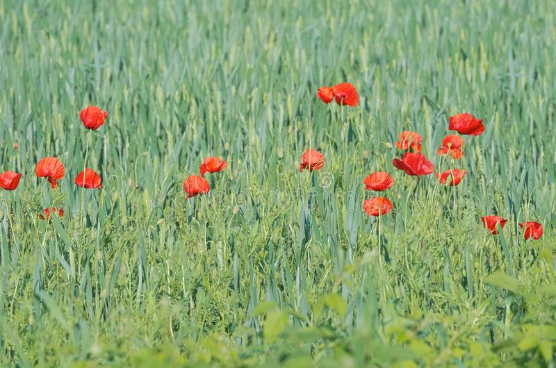 Wheat Field with Poppies. Green Wheat Field with Red Poppies Daytime royalty free stock image