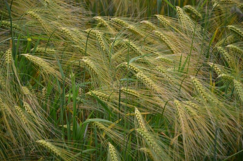 Green wheat field in sandbach. Cheshire, united kingdom royalty free stock photography