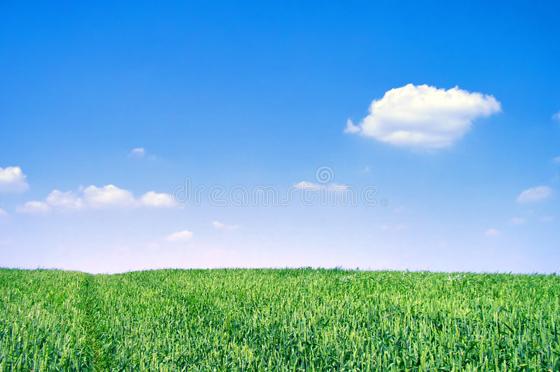 Download Green Wheat Field On Sunny Day Royalty Free Stock Image - Image: 2951196