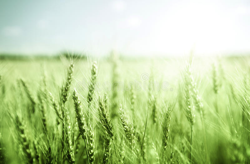 Green wheat field. And sunny day stock image