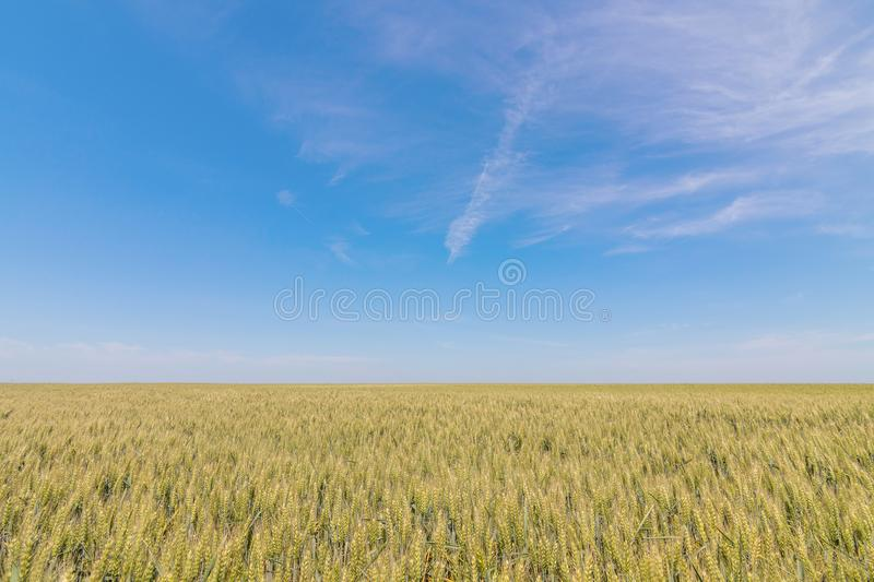 Green wheat field on sunny day. stock images