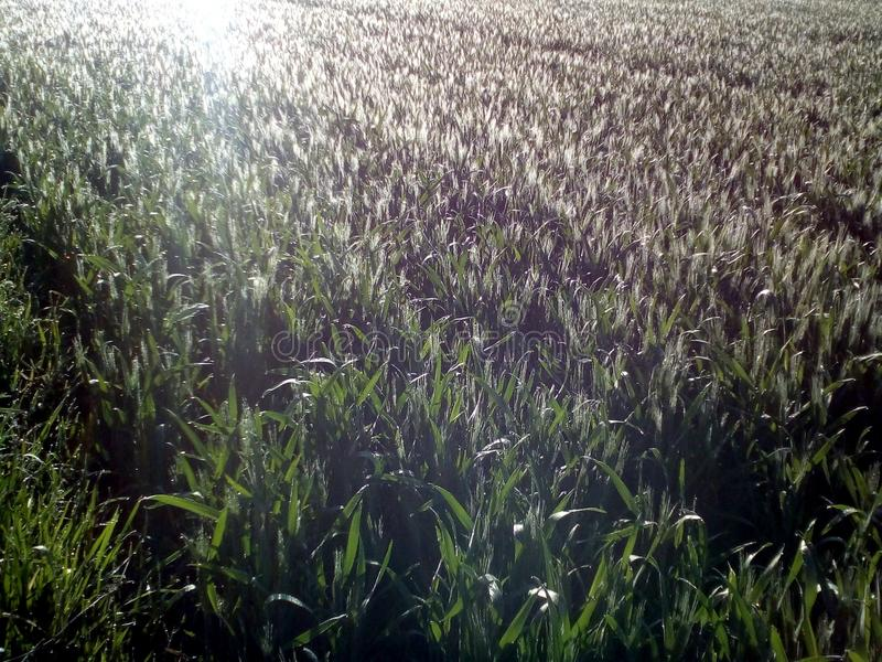 Green wheat field. And sunrise and dew blob royalty free stock photo