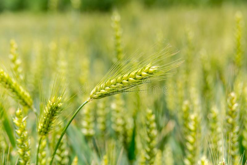 The green wheat stock images