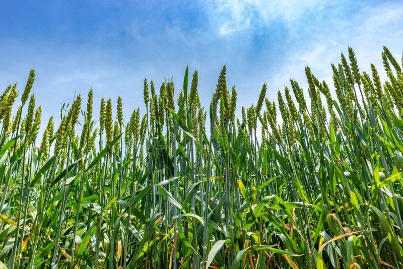 The green wheat stock photo