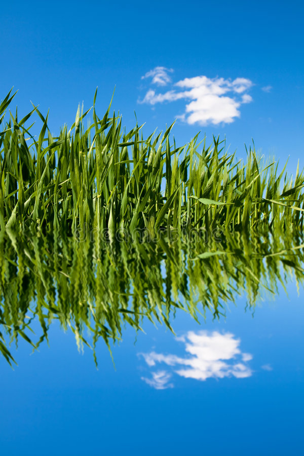 Free Green Wheat Field With Water Ripples Stock Photography - 6173582