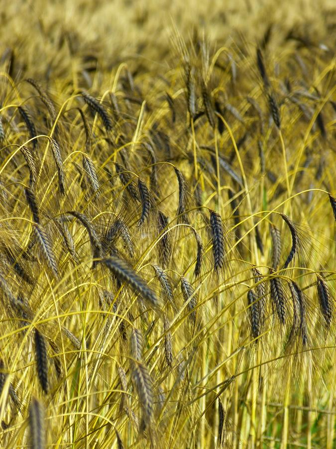 Green Wheat Grass at Daytime Photography stock photography
