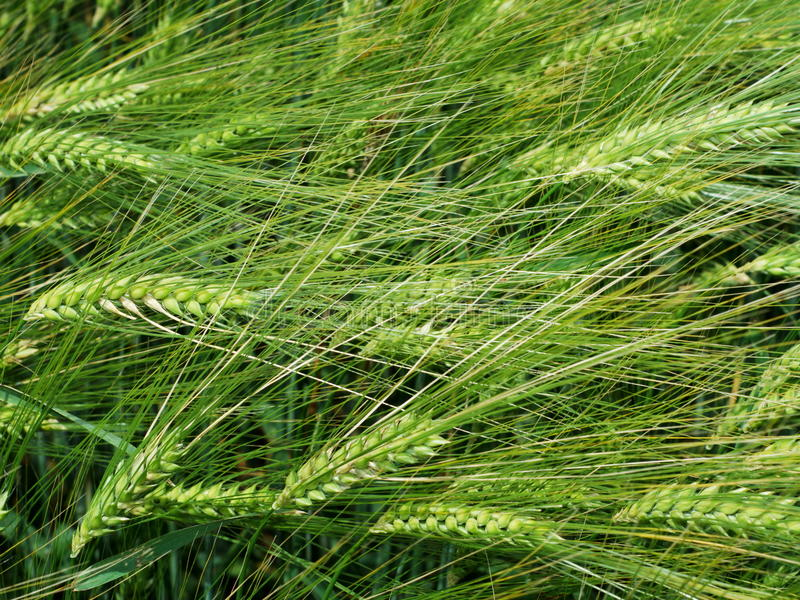 Green wheat heads. Close up of green wheat cereal plants in late springtime stock photos