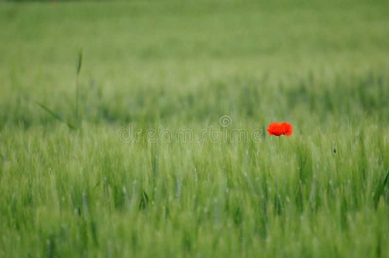 Green wheat and lone poppy stock photography
