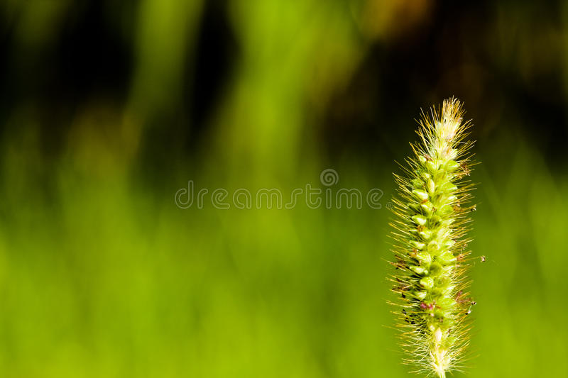 Download Green wheat plant macro stock photo. Image of macro, cultivated - 12658854