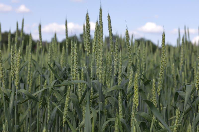 Green wheat plants closeup stock image