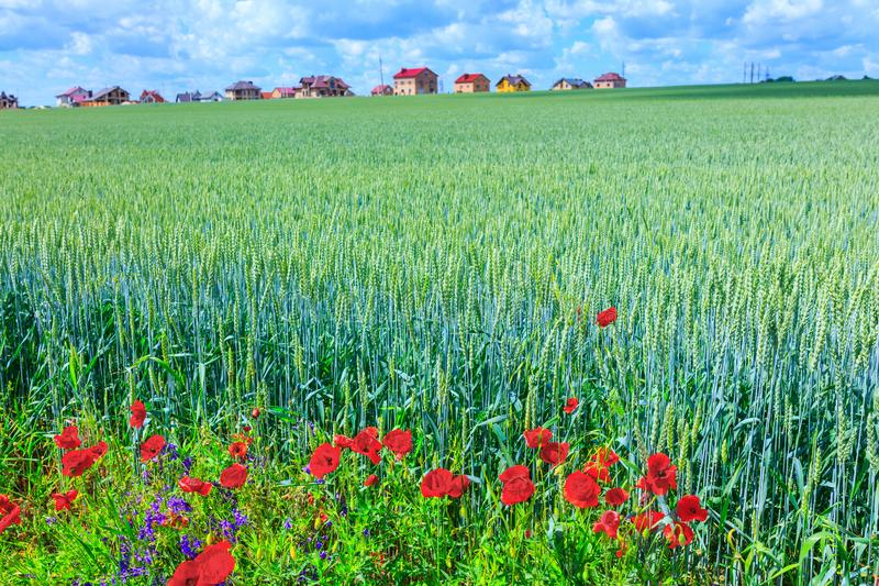 Green wheat and poppy in the field. Construction of residential stock photography