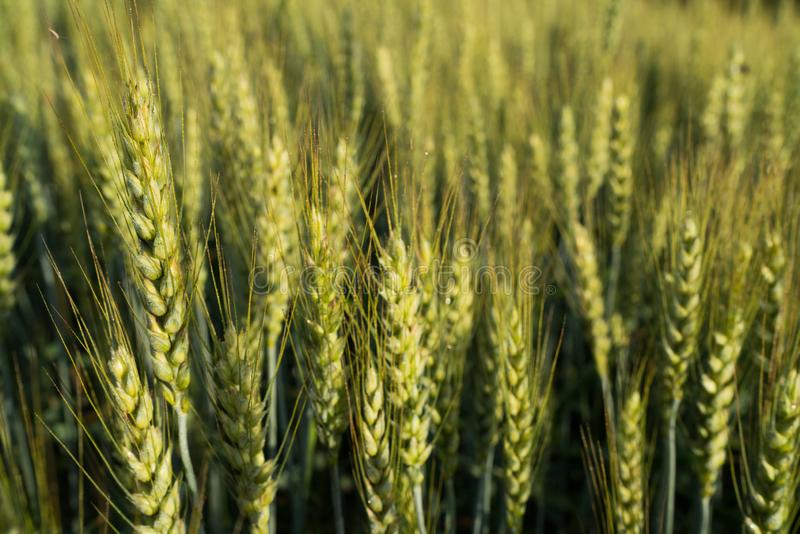 Green wheat spikes close-up image on the agriculture farm field in morning sunlight time stock photography