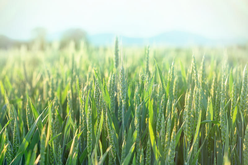 Green wheat - unripe wheat (wheat field). Green wheat - unripe wheat in spring (wheat field royalty free stock images