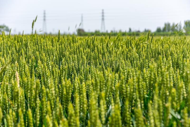 The green wheat royalty free stock photography