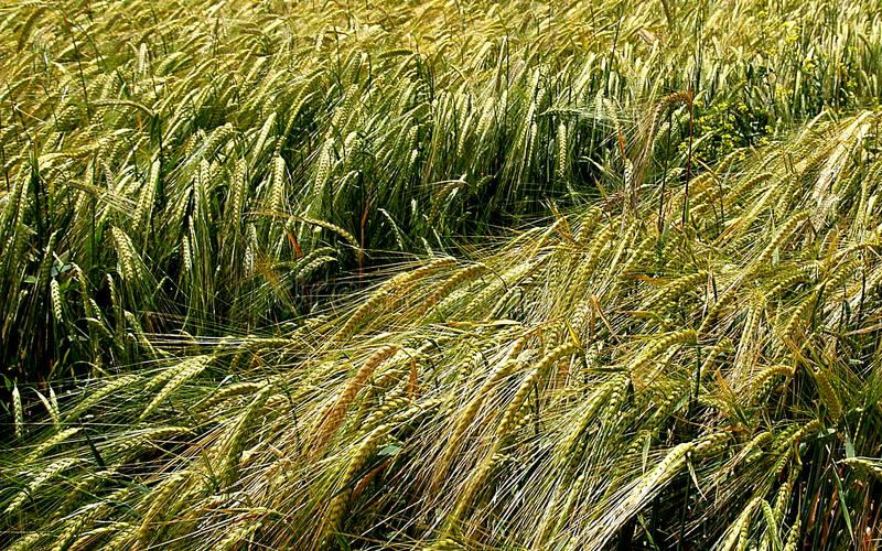 Green wheats in the field stock photos