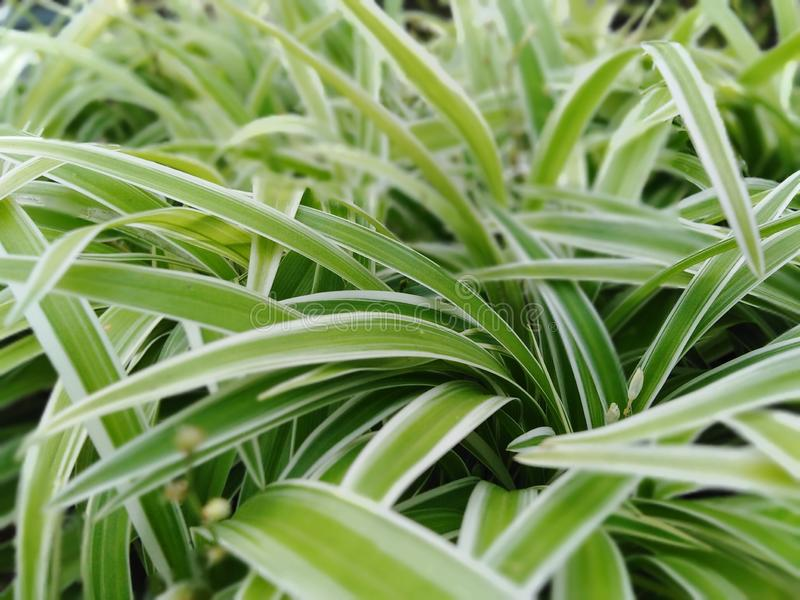 Green and white colour mix Grasses of pots. Green and white colour mix grasses in sri lanka stock image