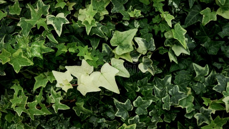 Green and white of Goldchild ivy (Hedera Helix) leaves background vintage. Star shape. stock photo