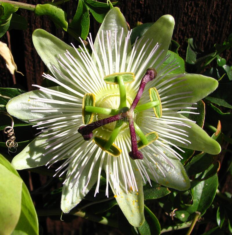green-and-white passionflower stock image