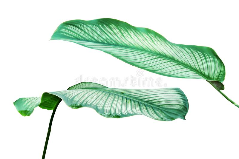 Green White Stripe Foliage Leaves of Calathea Plant Isolated on White Background with Clipping Path stock photography