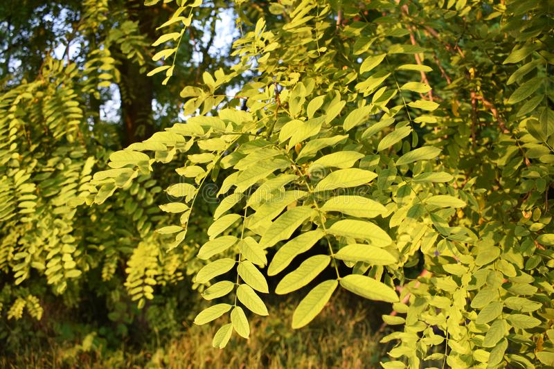 Wild acacia leaves, Vojvodina, Serbia royalty free stock images