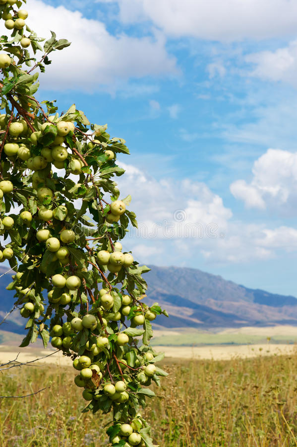 Download Green wild apples stock image. Image of agricultural - 26636139