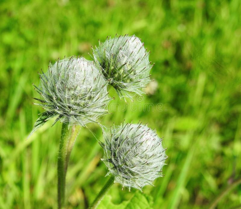 Green Wild flower in summer, Lithuania royalty free stock image