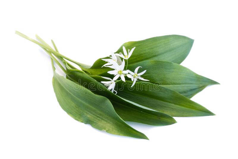 Green wild garlic leaves with flower isolated on white background. Green wild garlic leaves with flower isolated white background royalty free stock image