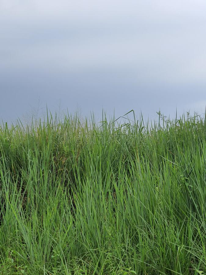 Green wild grassland in south city tangerang west java indonesia stock photo