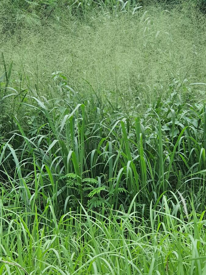 Green wild grassland in south city tangerang west java indonesia stock images