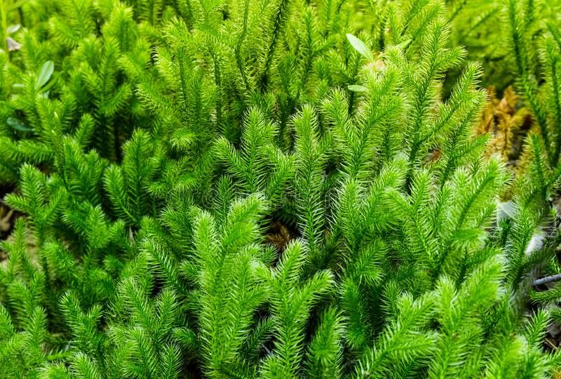Natural green Lycopodium growing in a summer forest. Russia, Western Siberia. stock image