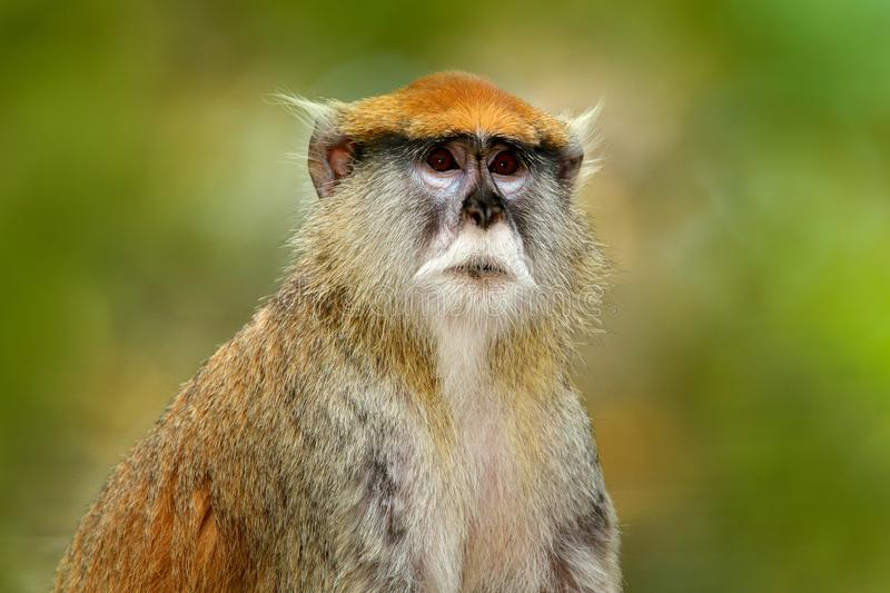 Green wildlife of Senegal. Patas Hussar monkey, Erythrocebus patas, sitting on tree branch in dark tropic forest. Animal in nature. Africa stock photography