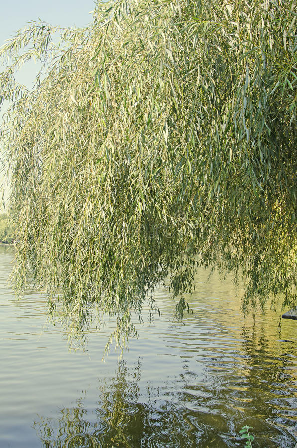 Green willow tree near water lake, close up.  royalty free stock photo