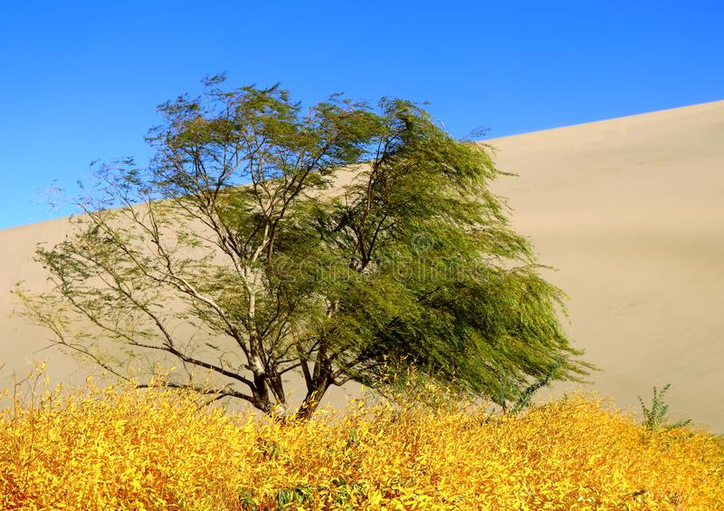 Green willow tree and yellow reeds in a desert royalty free stock photos