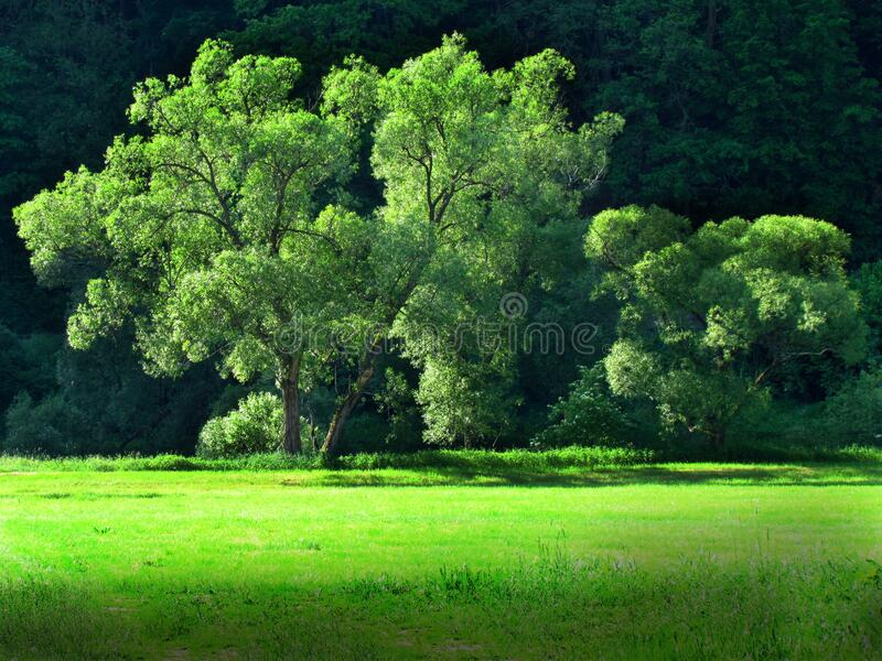 Green willows on side of meadow, landscape with big trees in sharp afternoon sunshine. Czech republic stock photography