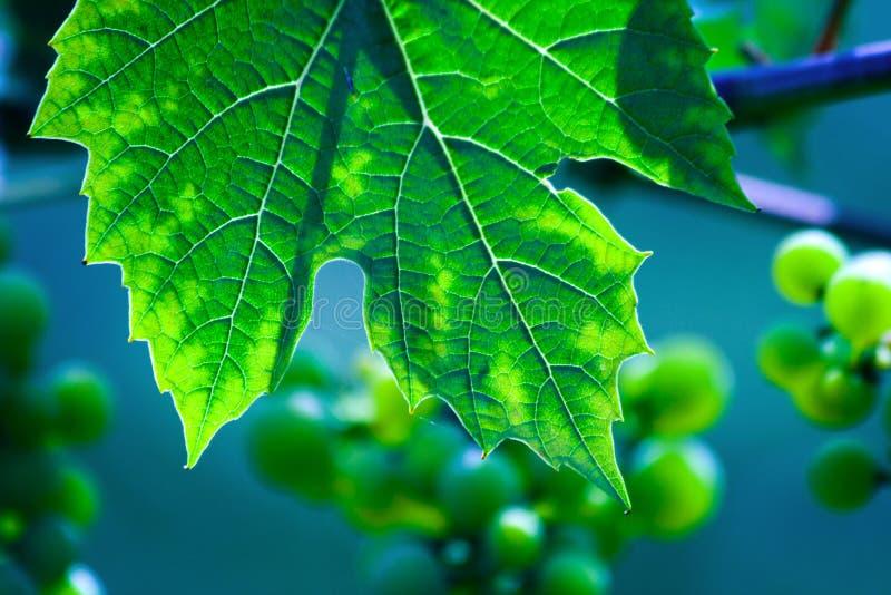 Green wine grape leaf royalty free stock photo