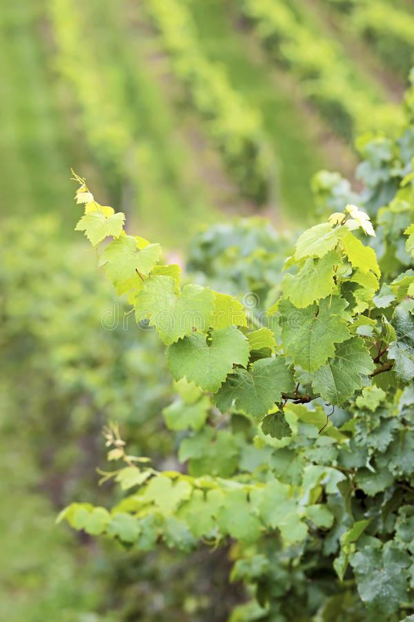 Download Green wine grapes stock photo. Image of winegrower, nature - 25884710