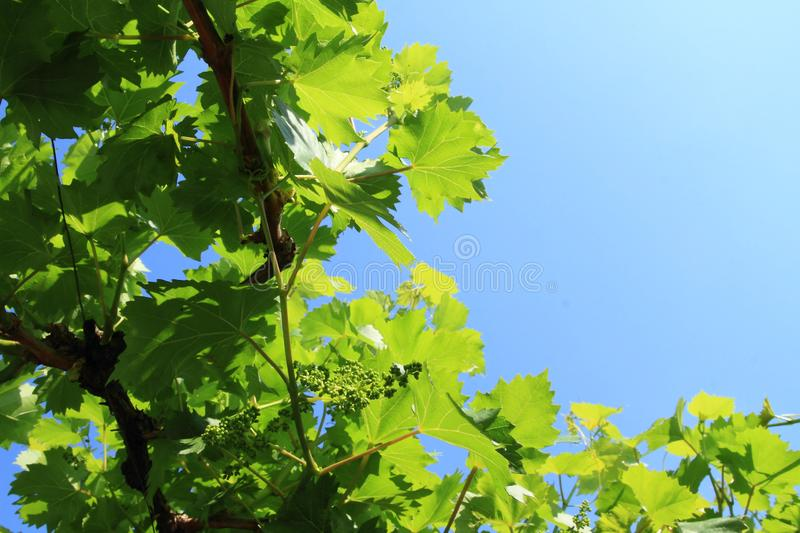 Wine on wineyard on Moravia. Green wine on wineyard with blue sky above in Moravia, Czech Republic. Agriculture concept royalty free stock images
