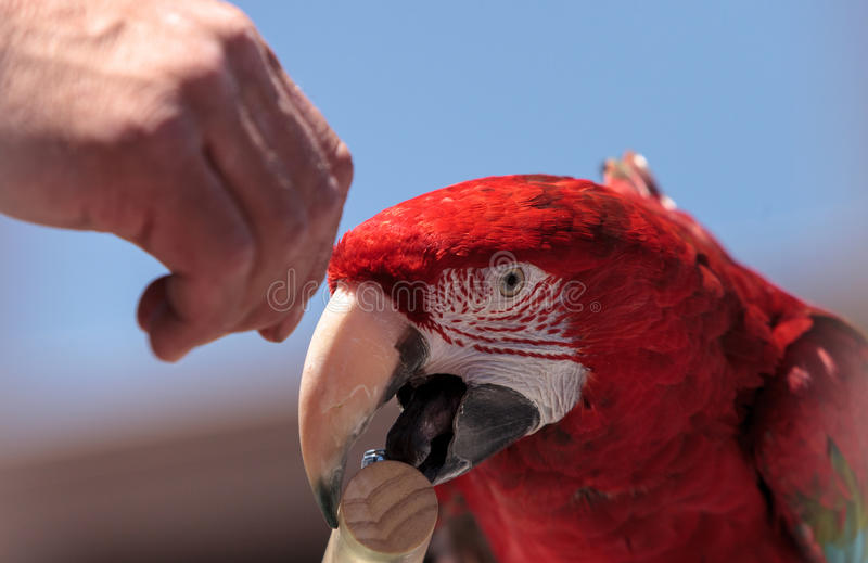 Green wing Macaw parrot bird Ara chloropterus. With red, green and blue feathers royalty free stock images