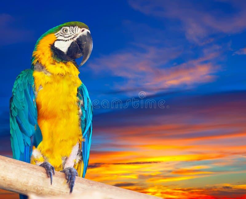 Green-winged ara tegen zonsopgang royalty-vrije stock afbeeldingen