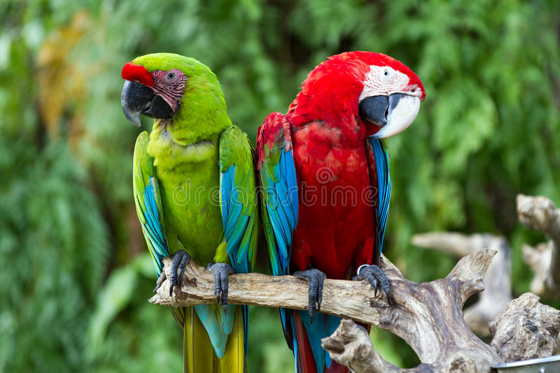Green-Winged and Great Green macaws in the nature royalty free stock photos