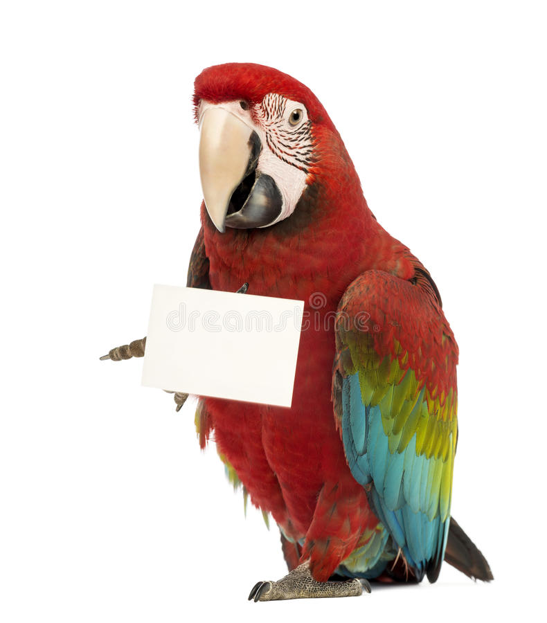 Green-winged Macaw, Ara chloropterus, 1 year old. In front of white background stock photos